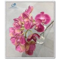 Silk Orchid